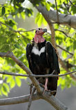 Red-headed vulture. The red-headed vulture is also known as the Asian king vulture Royalty Free Stock Photo