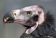 Red headed vulture closeup Stock Photography