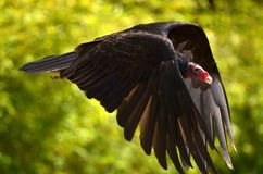 Red-headed Vulture Royalty Free Stock Photo