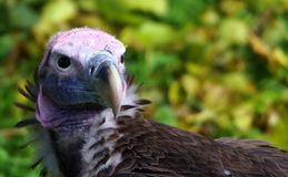 Red-headed Vulture Stock Photography