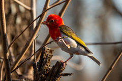 Red Headed Weaver. A male red headed weaver busy building a nest Royalty Free Stock Images