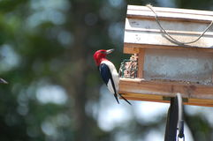 Red-headed woodpecker 13 Stock Photography