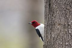 Red Headed Woodpecker. Melanerpes erythrocephalus clinging to the side of a tree royalty free stock photo