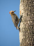 Red-Headed Woodpecker Royalty Free Stock Images