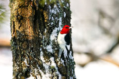 Red Headed Woodpecker Clinging to Tree in Snow. Red Headed Woodpecker Clinging to a Tree Trunk in the Snow of Wisconsin. Snow, Moss and Lichen are also on the Royalty Free Stock Images