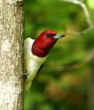 Red-headed woodpecker. Close-up of a beautiful red-headed woodpecker stock image