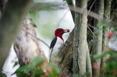 Red-headed woodpecker Stock Photography