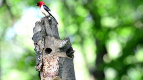 Bird Red headed Woodpecker feeding its baby Royalty Free Stock Images