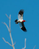 Red-headed Woodpecker flies by with wings spread Royalty Free Stock Photo
