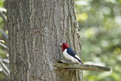 Red-Headed Woodpecker Melanerpes erythrocephalus Stock Image