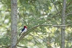 Red-Headed Woodpecker Melanerpes erythrocephalus Royalty Free Stock Photo