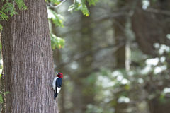 Red-Headed Woodpecker Melanerpes erythrocephalus Royalty Free Stock Photography