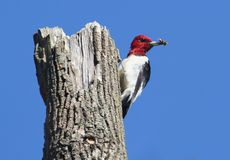 Red-headed Woodpecker (Melanerpes erythrocephalus) Royalty Free Stock Image
