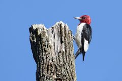 Red-headed Woodpecker (Melanerpes erythrocephalus) Royalty Free Stock Photography
