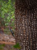 A Woodpecker Paused in Action on a Tree. A red headed woodpecker paused in action on a tree in the forest in Sedona, Arizona royalty free stock photos