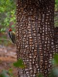 A Woodpecker Paused in Action on a Tree. A red headed woodpecker paused in action on a tree in the forest in Sedona, Arizona royalty free stock photo