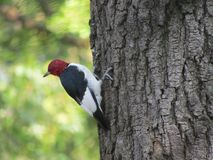 Red headed woodpecker Royalty Free Stock Images