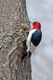 Red-headed Woodpecker royalty free stock image