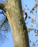 Red-headed Woodpecker - Searching For Food Royalty Free Stock Photos