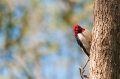 Red-headed Woodpecker. On a tree royalty free stock images