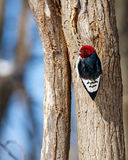 Red-headed Woodpecker on Tree Trunk Stock Photo