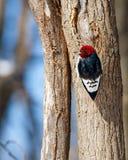 Red-headed Woodpecker on Tree Trunk Stock Photo