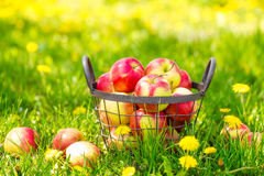 Red healthy organic apples in basket on green  grass in garden Royalty Free Stock Photos