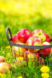 Red healthy organic apples in basket on green  grass in garden Stock Photo