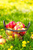Red healthy organic apples in basket on green  grass in garden Royalty Free Stock Photography