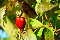 Red heart on autumn leaves background Royalty Free Stock Photo