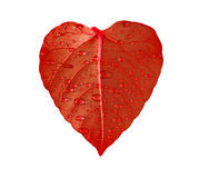 Red heart leaf Royalty Free Stock Photo