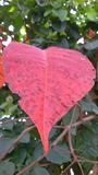 Red heart leaf. A red heart leaf among greens Stock Photos