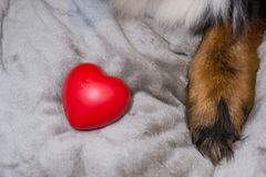 Red heart lyind near dog`s paw. Valentine`s day and International wonen`s day background. Charity to animals shelter. Concept o stock images