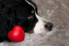 Red heart near Bernese Mounntain dog face on beige bed background. Copy space. Happy Valentine`s day background. Best gift for stock images