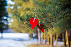 Red heart on pine branch Royalty Free Stock Image