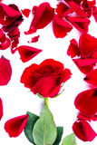 Red heart from the rose leaves in white background Royalty Free Stock Photo