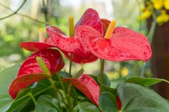 The red, heart-shaped flower of Anthuriums is really a spathe royalty free stock photos