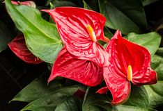 Anthuriums royalty free stock photo
