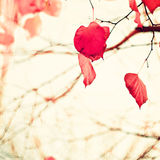 Red heart-shaped leafs Royalty Free Stock Photography