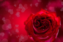 Red heart shaped rose Stock Photos