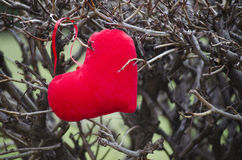 Red heart among thorns outdoors Stock Photos