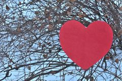 Red heart in winter on a tree with white background royalty free stock photo