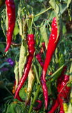 Red Heat. Photo of chili peppers in a local garden Royalty Free Stock Photography