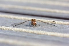 Red heath dragonfly warms up on deck Royalty Free Stock Photo