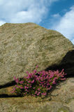 Red heather growing  in a crevice between two large rocks under a blue sky Royalty Free Stock Photo