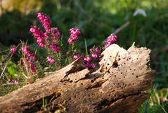 Red heather growing in wildlife garden. Red heather growing in rotting log in wildlife garden. Both flowers and rotting wood attract birds and insects to Stock Photo