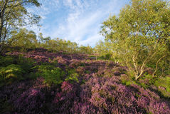 Free Red Heather On The Derbyshire Moors Near Sheffield Stock Photos - 49654923