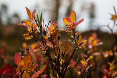 Red heather. With water drops Royalty Free Stock Images