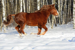 Red heavy horse runs gallop in winter Royalty Free Stock Photos
