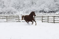 Red heavy horse runs gallop in winter stock photos